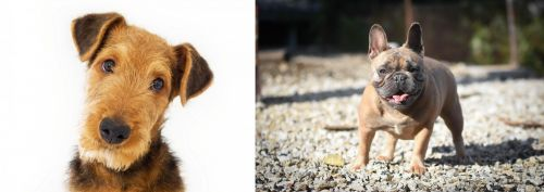 Airedale Terrier vs French Bulldog
