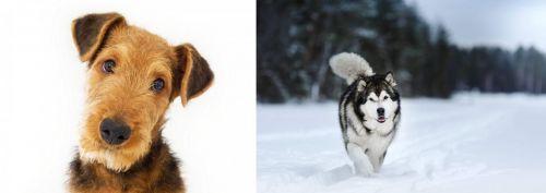Airedale Terrier vs Siberian Husky