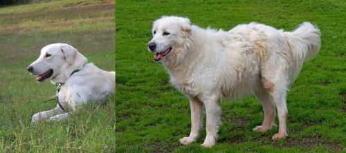 Akbash Dog vs Abruzzenhund