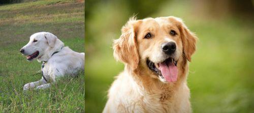 Akbash Dog vs Golden Retriever