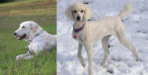 Akbash Dog vs Poodle