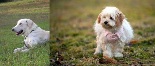 Akbash Dog vs West Highland White Terrier