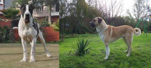 Alangu Mastiff vs Anatolian Shepherd