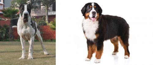 Alangu Mastiff vs Bernese Mountain Dog