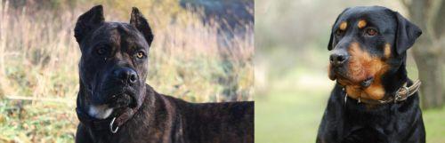 Alano Espanol vs Rottweiler