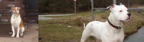 Alapaha Blue Blood Bulldog vs Antebellum Bulldog