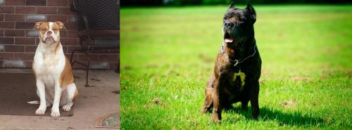 Alapaha Blue Blood Bulldog vs Bandog