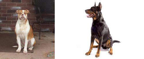 Alapaha Blue Blood Bulldog vs Beauceron