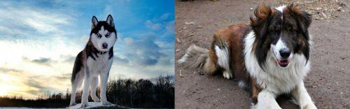 Alaskan Husky vs Aidi