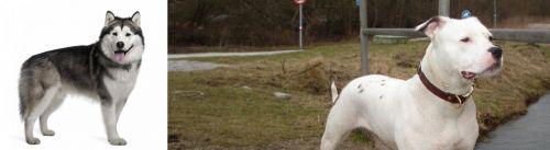 Alaskan Malamute vs Antebellum Bulldog