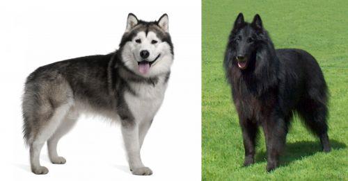 Alaskan Malamute vs Belgian Shepherd Dog (Groenendael)