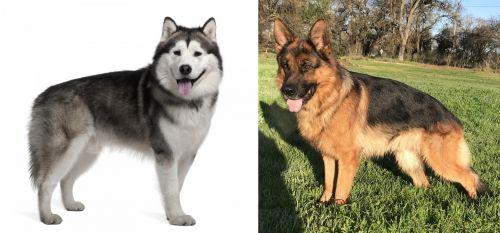 Alaskan Malamute vs German Shepherd