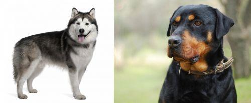 Alaskan Malamute vs Rottweiler