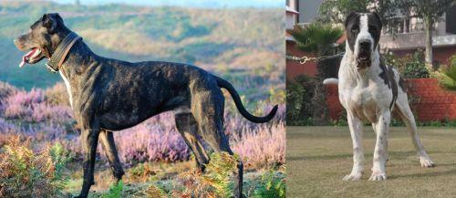 Alaunt vs Alangu Mastiff