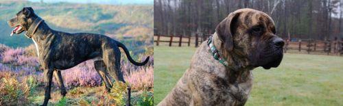 Alaunt vs American Mastiff