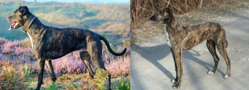 Alaunt vs American Staghound