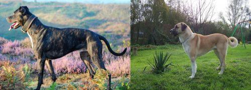 Alaunt vs Anatolian Shepherd