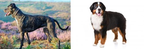 Alaunt vs Bernese Mountain Dog