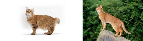 American Bobtail vs Abyssinian