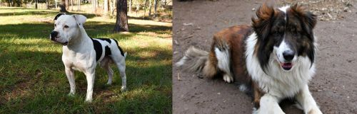 American Bulldog vs Aidi