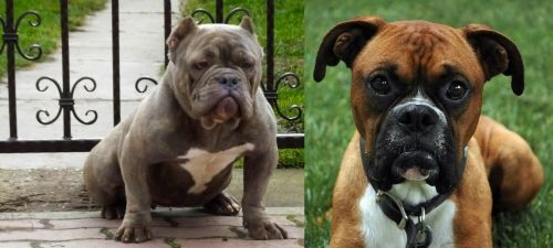American Bully vs Boxer