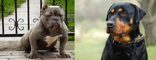 American Bully vs Rottweiler