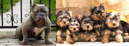 American Bully vs Yorkshire Terrier
