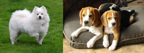 American Eskimo Dog vs Beagle