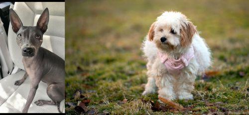 American Hairless Terrier vs West Highland White Terrier