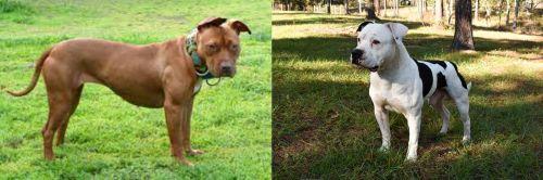 American Pit Bull Terrier vs American Bulldog