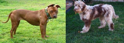 American Pit Bull Terrier vs Aussie Doodles