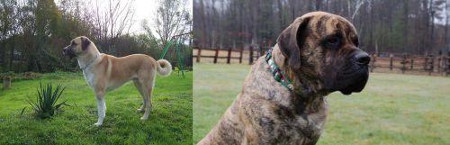 Anatolian Shepherd vs American Mastiff