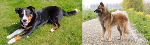 Appenzell Mountain Dog vs Belgian Shepherd Dog (Tervuren)