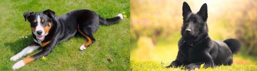 Appenzell Mountain Dog vs Black Norwegian Elkhound