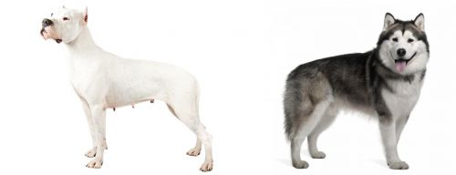 Argentine Dogo vs Alaskan Malamute