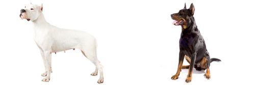 Argentine Dogo vs Beauceron