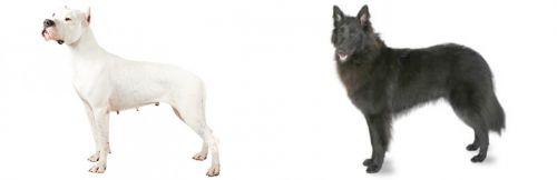 Argentine Dogo vs Belgian Shepherd