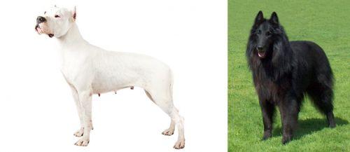 Argentine Dogo vs Belgian Shepherd Dog (Groenendael)