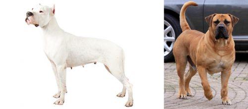 Argentine Dogo vs Boerboel