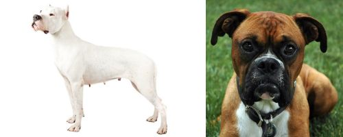 Argentine Dogo vs Boxer