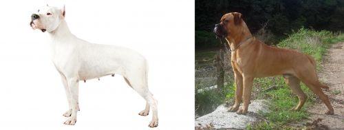 Argentine Dogo vs Bullmastiff