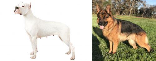 Argentine Dogo vs German Shepherd
