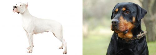 Argentine Dogo vs Rottweiler