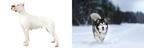 Argentine Dogo vs Siberian Husky