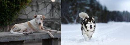 Askal vs Siberian Husky