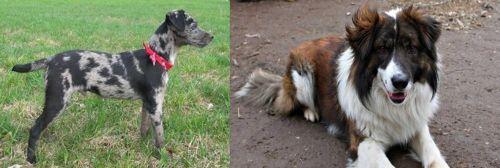 Atlas Terrier vs Aidi