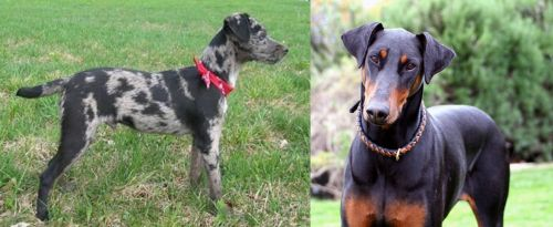 Atlas Terrier vs Doberman Pinscher