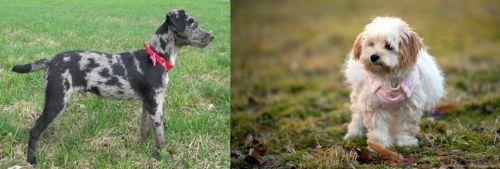 Atlas Terrier vs West Highland White Terrier