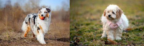 Australian Shepherd vs West Highland White Terrier