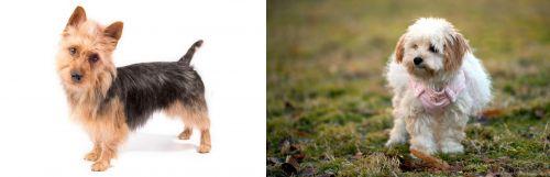 Australian Terrier vs West Highland White Terrier